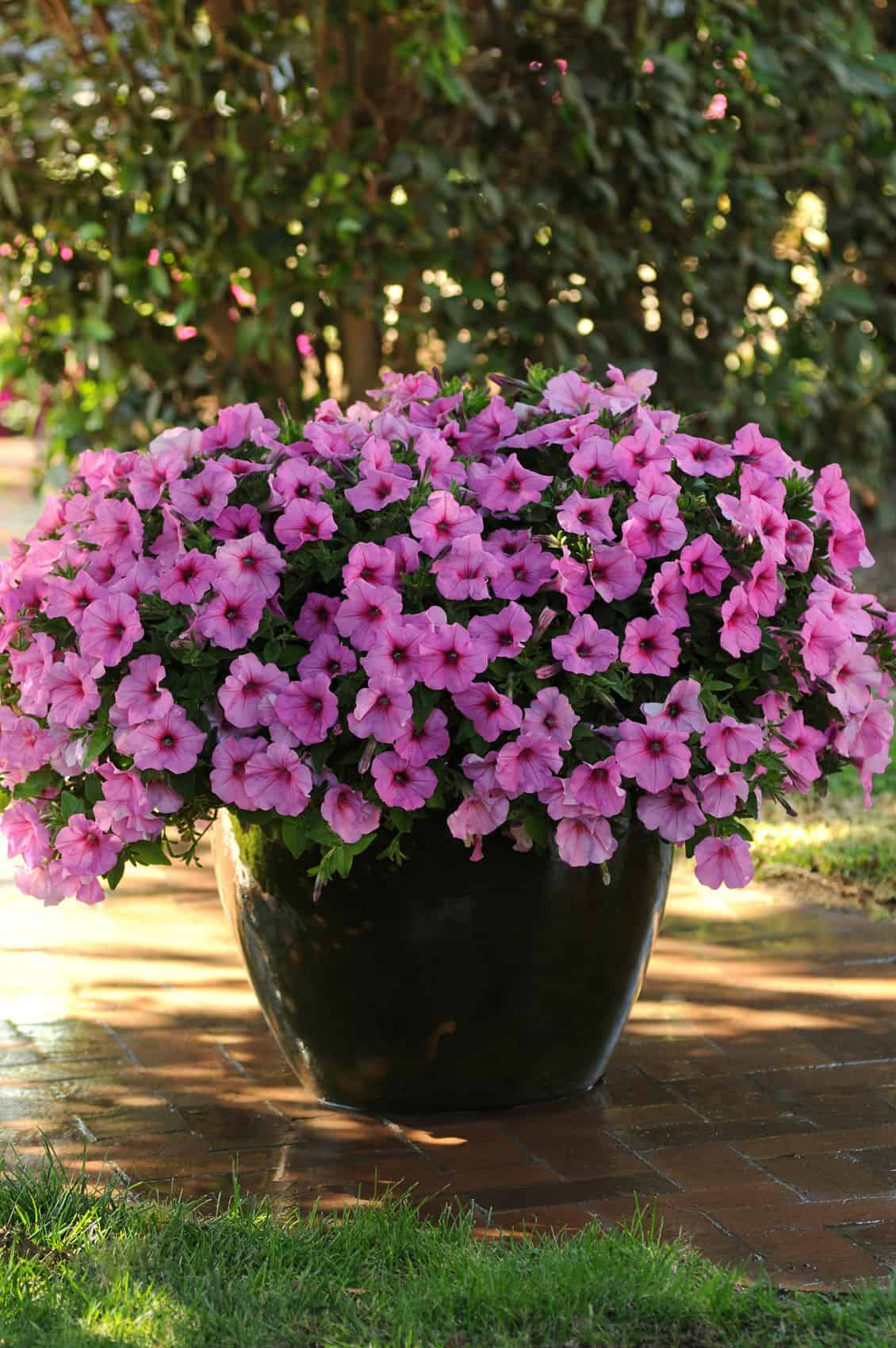 Wave Petunias Jolly Farmer
